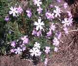 """Creeping Phlox - After the blooming period, prune back the foliage of creeping phlox plants. This """"pinching"""" will encourage foliage to become denser, thereby making your creeping phlox plants a more attractive groundcover for the summer months."""