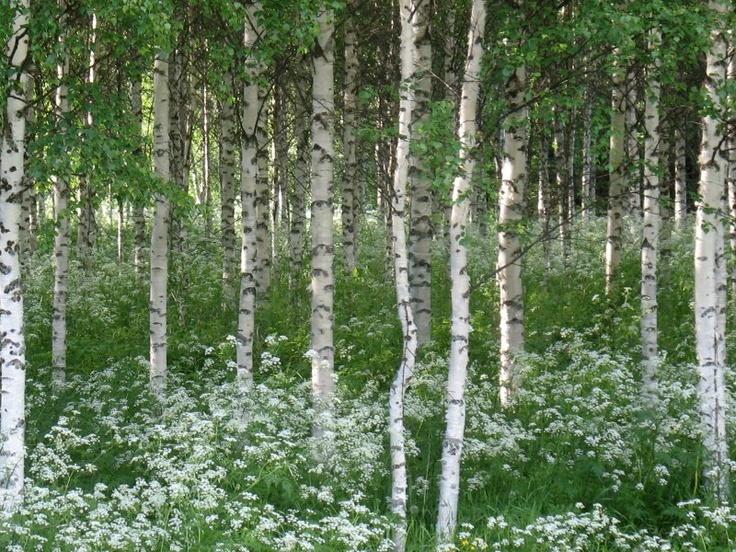 Flowering woods....Juhannus koivikko--Finland