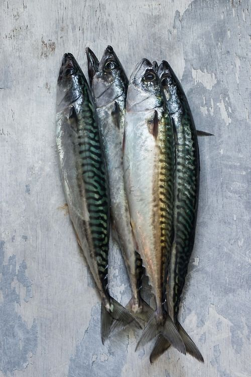 cornish mackerel | wildwood & shore photography