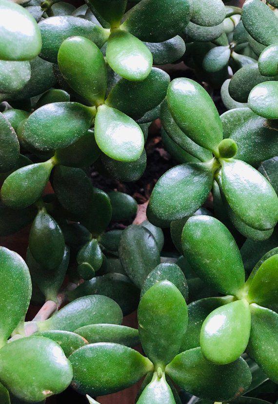 Jade Plant Succulent Money Tree 4x Leaves – Money Plants