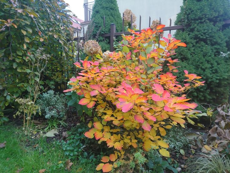 Fotergilla  - kolory jesieni
