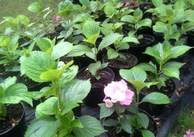 Чтобы быть уверенным в цвете гортензии - покупайте цветущий саженец