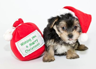 Dogs have to be the easiest of all family members to buy for at Christmas.  Unlike your grumpy cat, your dog won't their nose up at your choice of gift... http://australianwomenonline.com/christmas-gift-ideas-for-dogs/