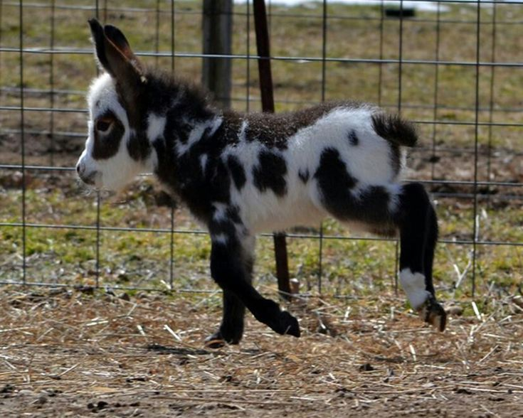Mini donkey.  Its gonna happen...