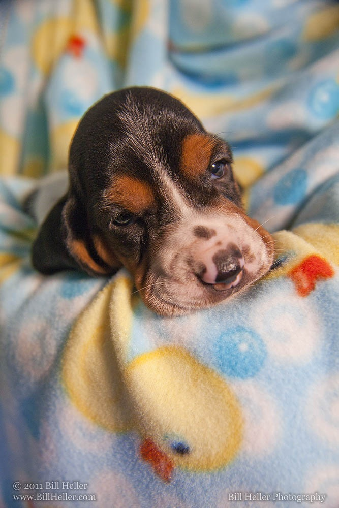 Beautiful Baby Basset Hound    http://www.BillHeller.com/