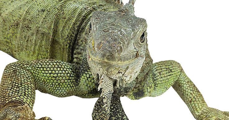 Como fazer iguanas procriarem. Iguanas atingem a maturidade sexual por volta dos 18 meses, nessa idade já podem se acasalar. Porém, o acasalamento de iguanas precisa de muita preparação, paciência e cuidado. As iguanas podem ser violentas e, muitas vezes, perigosas, durante a estação de acasalamento. O período do cio é relativamente curto, enquanto os machos ficam suscetíveis ...