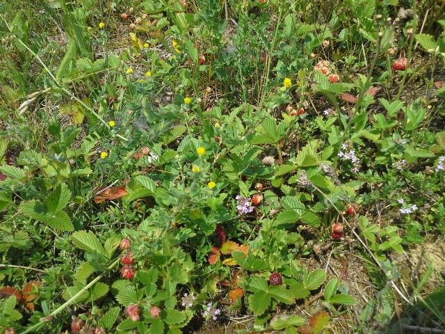 Wild strawberries, Dobricel, Transylvania