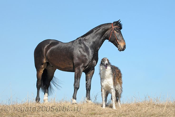 картинки борзая лошадь более легкие