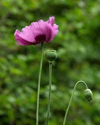 papaver sominferum - Google Search SEED ONLY