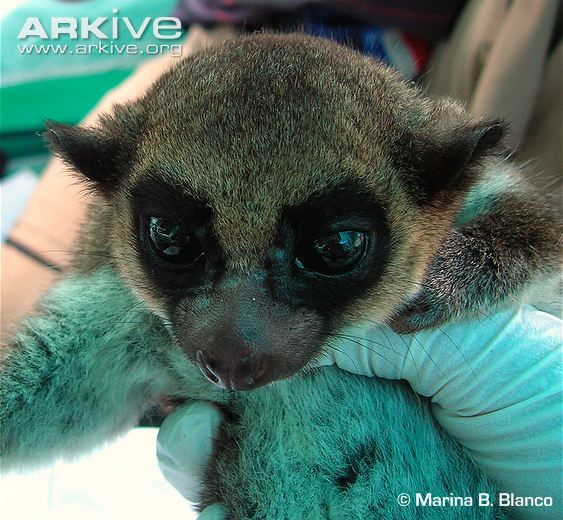 juvenile sibrees dwarf lemur