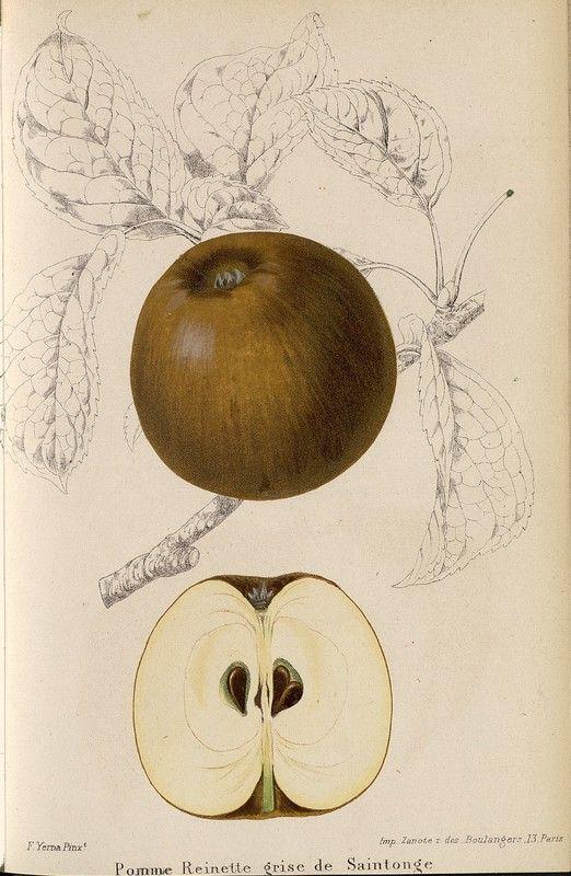 SNHF | Pomme Reinette grise de Saintonge