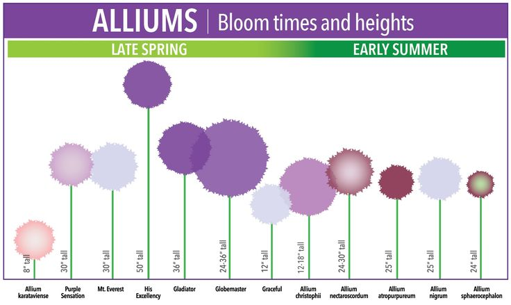 If you're one of the many gardeners who have fallen in love with alliums, our new bloom time chart could get you into some trouble. We have organized the 12 most popular alliums by height, flower size and bloom time, so it's easy to see at a glance which types of alliums you have and which ones you still need to get!