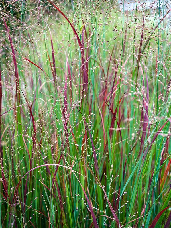 panicum 'Heavy Metal' - fall color