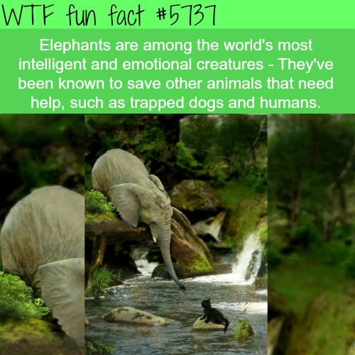 Elephants - WTF fun facts - http://thisissnews.com/elephants-wtf-fun-facts-2/