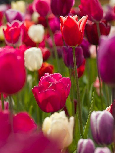 Tulips in splendor, photo courtesy of i-bulb