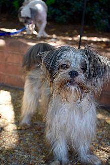 Atlanta, GA - Shih Tzu/Yorkie, Yorkshire Terrier Mix. Meet Jerry a Dog for Adoption.