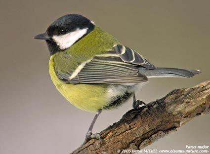 Reconnaitre les oiseaux de nos jardins...