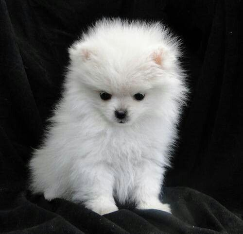baby pomeranian dog the 25 best teacup pomeranian husky ideas on pinterest 3080