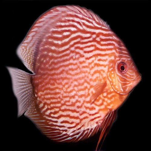 Red Discus Fishy Friends Pinterest