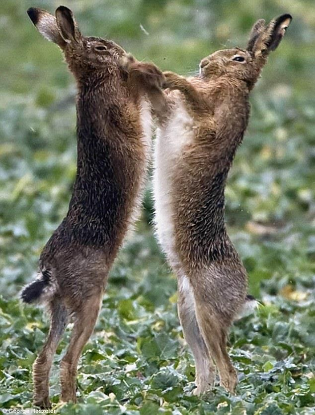 In March and April, Hares can often be seen going 'Mad'. They Leap about and have wild chases with each other. They will also have 'Boxing Matches'. Two Hares, usually a Male and a Female, stand up on their hind legs. They face each other then start to 'Box' with each other. This is all part of the Mating & 'Courtship' ritual. A sure sign of great Strength & Stamina. Thus the Male proves he would be a good candidate for mating rights.