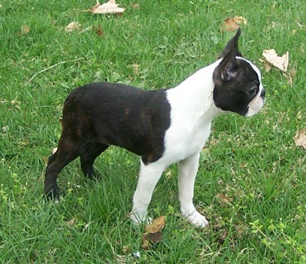 miniature boston terrier 25 best ideas about miniature boston terrier on pinterest 8100
