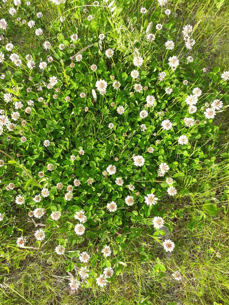 KEVÄÄN Ensimmäinen Luonnon kukka LESKENLEHTI…  LUONNOSSA ENSIN ilmestyvät Pienet LESKENLEHDET, kuvassa. Seuraavaksi Isommat VOIKUKAT. Nurmi vihertää kauniisti ja …
