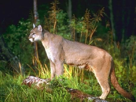 SW of Swartz Creek near Gaines Township north of Reid road, south of Hill Road. South side of railroad tracks near Nichols Road break. Dogs became aggressive on leash following some kind of scent. Owner observed a cougar across the street at about 40 yards into the woods.