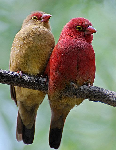 Red-Billed Firefinch (Africa)