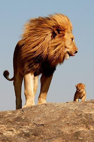 Lion Dad looking out for his young lion cub.