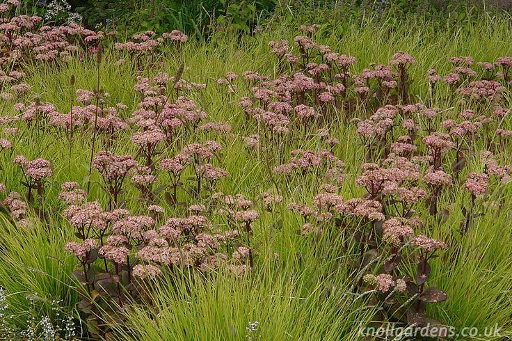 Sedum Matrona | Knoll Gardens | Ornamental Grasses and Flowering Perennials