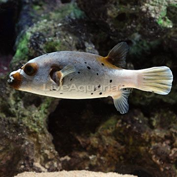 43 best images about salt semi aggressive on pinterest for Semi aggressive fish