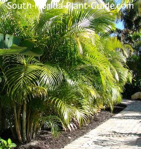 Not just another pretty face, the dramatic areca palm does double duty as a spectacular tropical privacy screen. Read all about it!