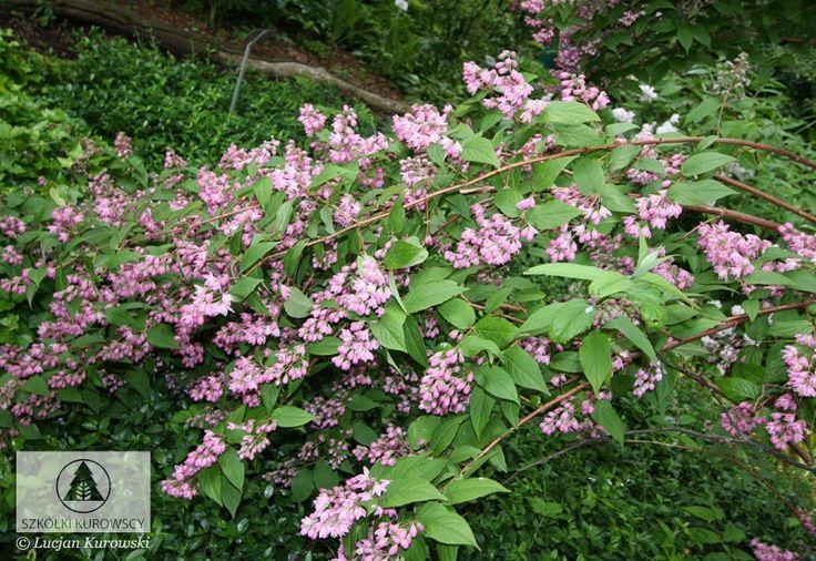 Deutzia x hybrida 'Strawberry Fields' 4