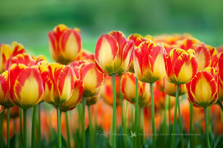 Extraordinary red and yellow tulips, Holland Katka Pruskova Photography   www.pruskova.com