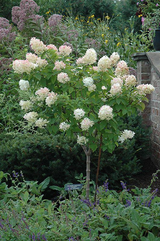 "Hydrangea Tree Form | Hydrangea (tree form) (Hydrangea paniculata ""Limelight (tree form ..."