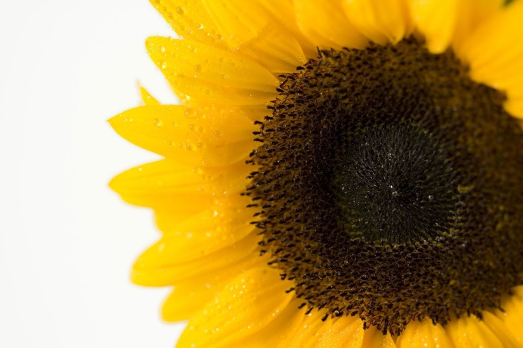 Image detail for -close up image of sunflower ( close up image of sunflower.jpg ...: Gourmet Food, Sunflowers Bouquets, Sunflowers Jpg, Bouquets Premium, Yellow Wedding, Domain Image, Flowers Abstract, Colors Flowers, Sunflowers Yellow