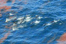 Deepwater Horizon oil spill - Striped dolphins (Stenella coeruleoalba) observed in emulsified oil on April 29, 2010