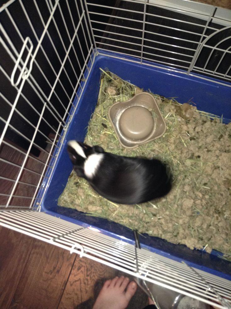 My Guinnie pig