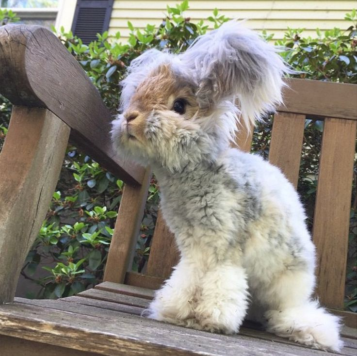 Wally the Angora Rabbit - so cute! At first, I thought he was a stuffed toy rabbit!