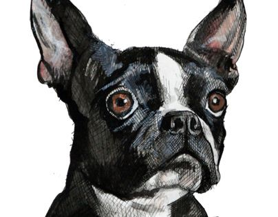 """Check out new work on my @Behance portfolio: """"Boston Terrier"""" http://on.be.net/ObarzD"""