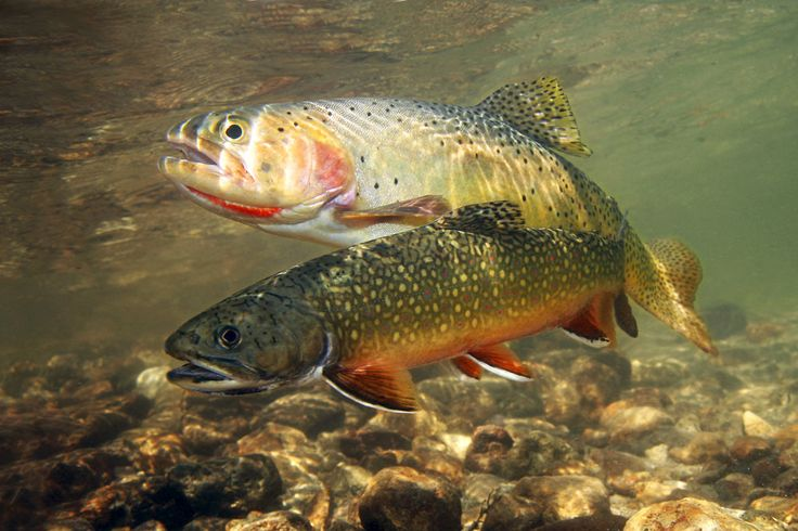 15 different types of trout fish with pictures trout for Types of fish bait