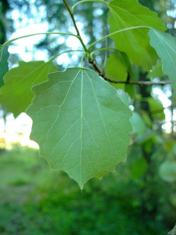 Haapa - Populus tremula