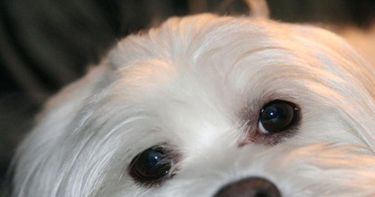 Cómo entrenar a tu perro caniche maltés. Los perros caniche maltés son lindos, pequeños e inteligentes; tienen características de las dos razas. Ambas tienen un cabello que crece constantemente y que requiere un aseo frecuente. El maltés por lo general es gentil y más tranquilo que muchas otras razas pequeñas y los caniches también tienden a ser más tranquilos que otras razas pequeñas. ...
