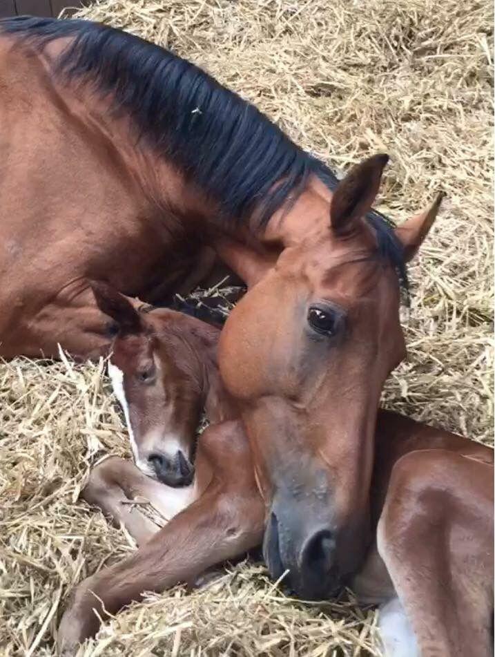 Seeking attribution. Horse, mare, foal, straw, lying down