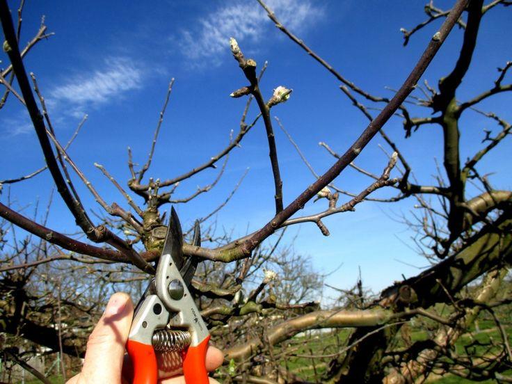 Les 14 meilleures images du tableau greffage de la poire williams sur pinterest poires - Quand traiter les arbres fruitiers ...