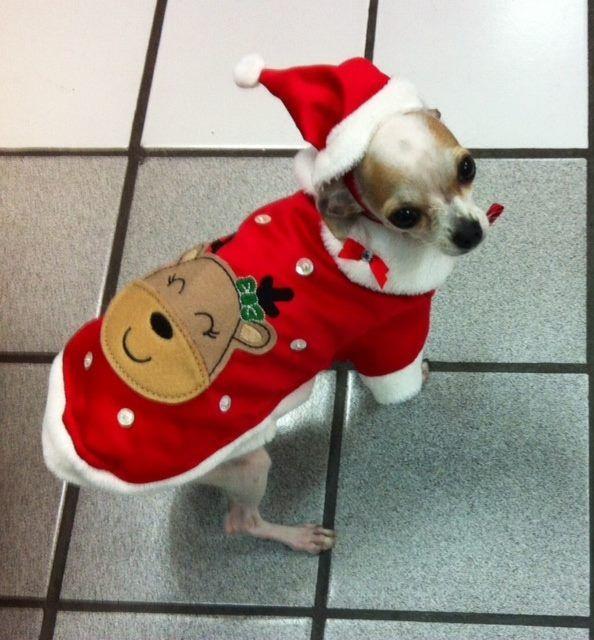Capa Reno lindo vestuario navideño para el pequeñin de la casa. Ropa para perros, accesorios para mascotas