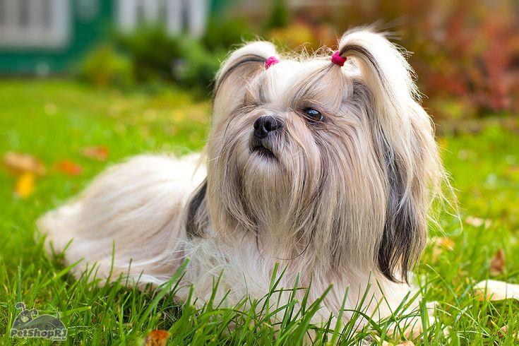shih tzu | Shih Tzu, um pequeno grande amigo | Pet Shop RJ