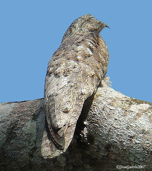 The Great Potoo