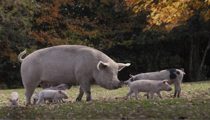 Sow and piglets at Bramshaw.