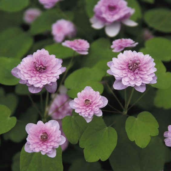 Anemonella thalictroides 'Shoaf's Double Pink'